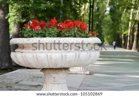 Geraniums in  flowerpot