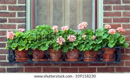 Geraniums In