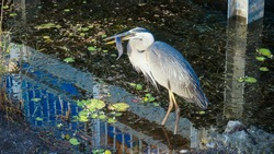 Gerat Blue Heron stabs a catfish to eat.