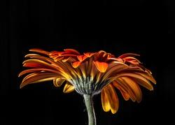 Gerber daisy high contrast