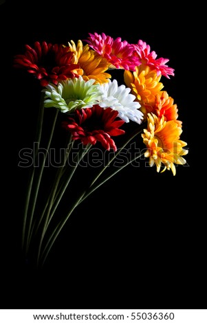 Gerber flowers isolated on black background - stock photo
