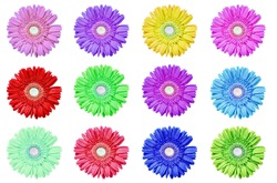 Gerbera daisies in different colors on a pure white background with space for text