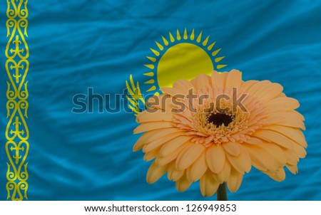 gerbera daisy flower and national flag of kazakhstan as concept and symbol of love, beauty, innocence, and positive emotions