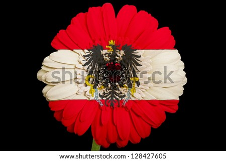 gerbera daisy flower in colors national flag of austria on black background as concept and symbol of love, beauty, innocence, and positive emotions