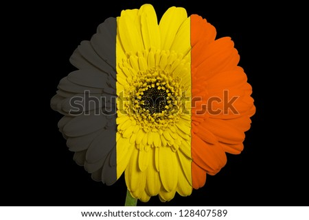 gerbera daisy flower in colors national flag of belgium on black background as concept and symbol of love, beauty, innocence, and positive emotions