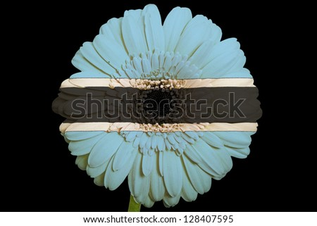 gerbera daisy flower in colors national flag of botswana on black background as concept and symbol of love, beauty, innocence, and positive emotions