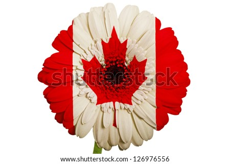 gerbera daisy flower in colors national flag of canada on white background as concept and symbol of love, beauty, innocence, and positive emotions