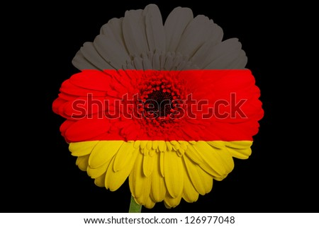 gerbera daisy flower in colors national flag of germany on black background as concept and symbol of love, beauty, innocence, and positive emotions