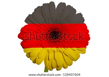 gerbera daisy flower in colors national flag of germany on white background as concept and symbol of love, beauty, innocence, and positive emotions