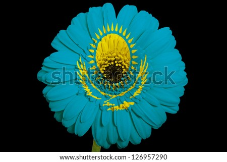 gerbera daisy flower in colors national flag of kazakhstan on black background as concept and symbol of love, beauty, innocence, and positive emotions