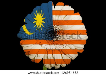 gerbera daisy flower in colors national flag of malaysiaon black background as concept and symbol of love, beauty, innocence, and positive emotions