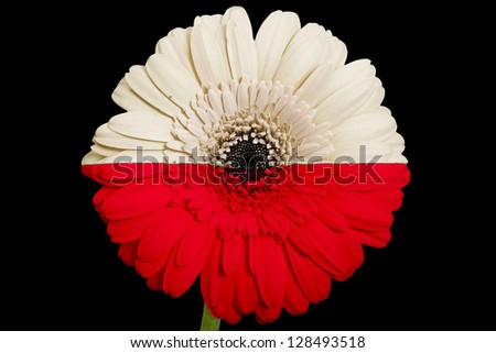 gerbera daisy flower in colors national flag of poland on black background as concept and symbol of love, beauty, innocence, and positive emotions