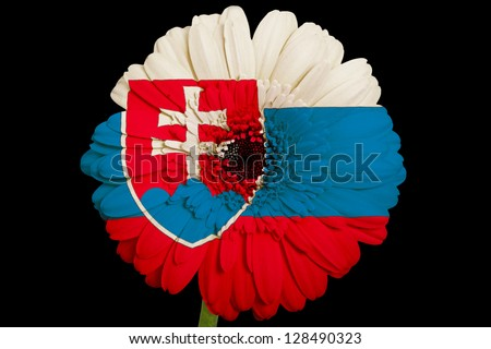 gerbera daisy flower in colors national flag of slovakia on black background as concept and symbol of love, beauty, innocence, and positive emotions