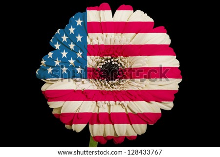 gerbera daisy flower in colors national flag of us on black background as concept and symbol of love, beauty, innocence, and positive emotions
