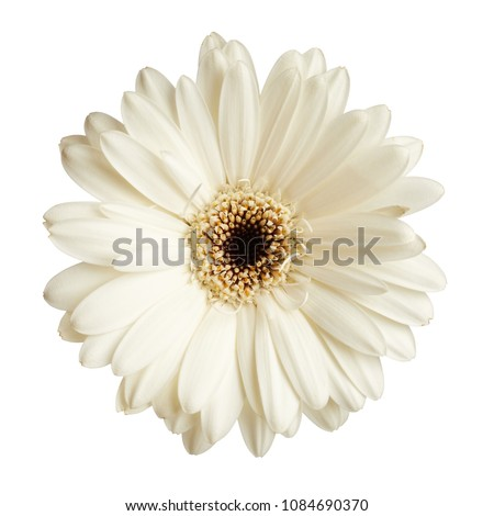 Gerbera daisy flower isolated on white background #1084690370