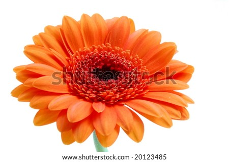 gerbera daisy flower isolated on white background