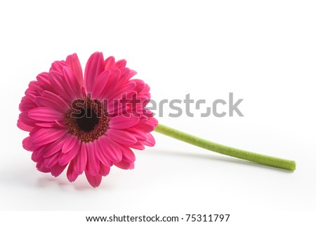 Gerbera daisy flower on white background