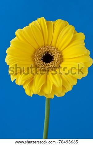 Gerbera daisy flower over blue background