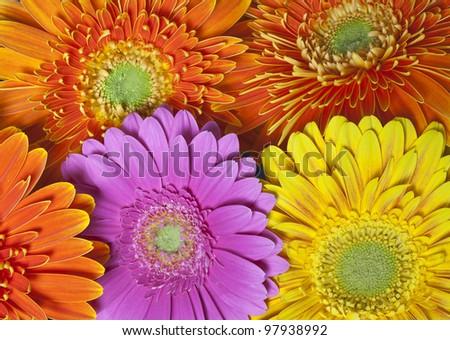 gerbera daisy flowers close up, gerber daisy