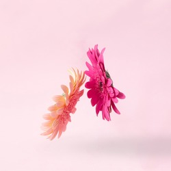 Gerbera daisy on a pastel pink background stand in the air facing each other. Minimal concept.