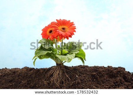 Gerbera flower in earth with visible root #178532432