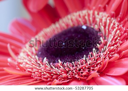 Gerbera Flower in Extreme Macro, with Shallow Depth of Field #53287705