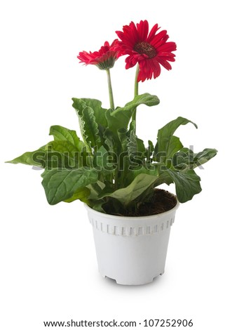 Gerbera flower in pot on white background