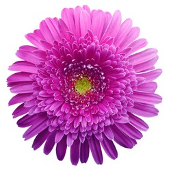 gerbera flower purple. Flower isolated on white background. No shadows with clipping path. Close-up. Nature