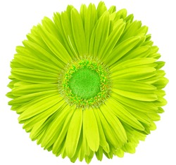gerbera flower yellow-green.  isolated on a white background. No shadows with clipping path. Close-up. Nature.