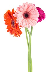 Gerbera flowers bouquet isolated on a white background. Three gerbera flowers in water drops.