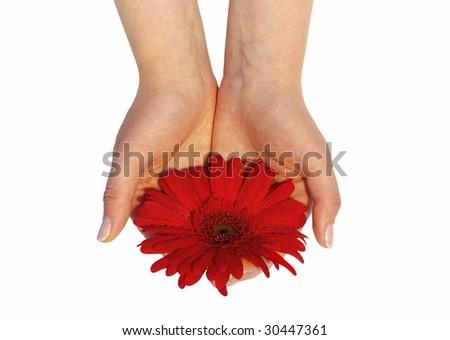 Gerbera flowers in womans hands