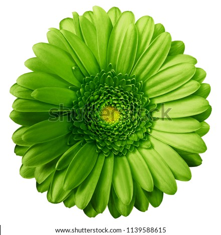Gerbera green  flower  on white isolated background with clipping path.  no shadows. Closeup.  Nature.