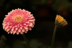 Gerbera in Pink colours. Floral photography. Floral desktop background. Pink gerbera. Nature background. Darkgreen leaves.