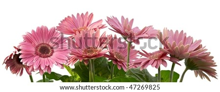 gerbera isolated on white with clipping path - stock photo