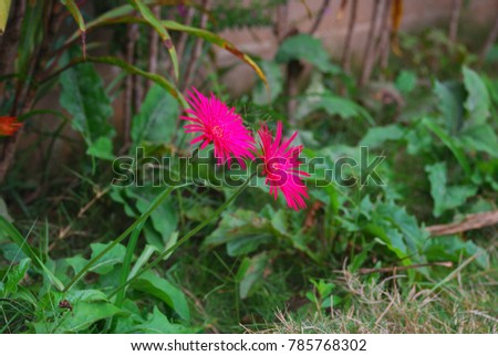 Gerbera jamesonii the stem is in the underground the germ of the gerbera jamesonii the stem is in the underground the germ of the green eye mightylinksfo