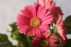 gerbera pink flower in a pot is on the table