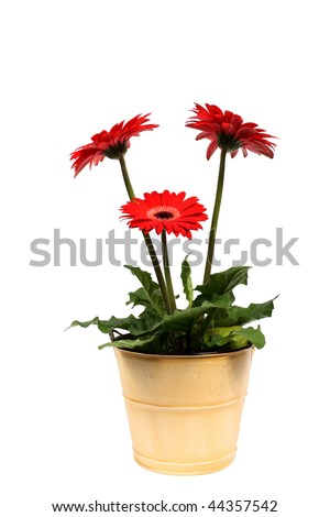 Gerbera plant in pot