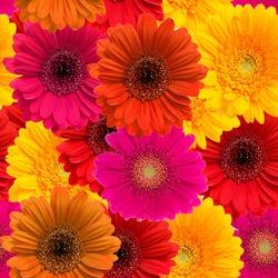 Gerbera seamless pattern floral background