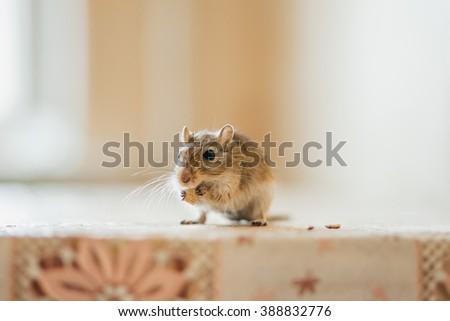 Gerbil eating grain on the table