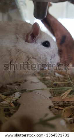 Gerbil from the side