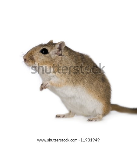 Gerbil In Front Of A White Background Stock Photo 11931949 ...