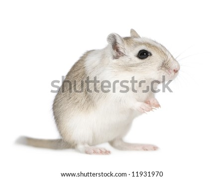 Gerbil in front of a white background