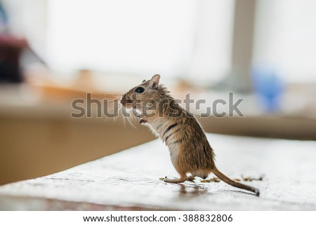 Gerbil mouse standing on the kitchen table