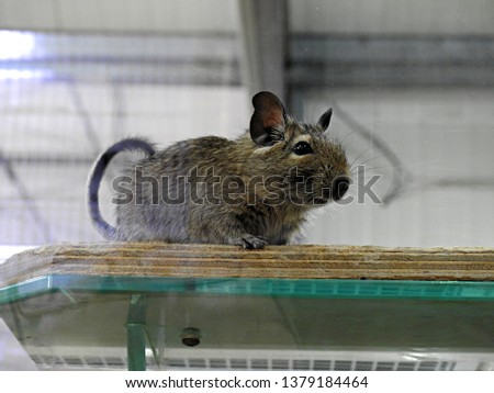 Gerbil with dark brown fur and black eyes standing on the edge of a wooden shelf looking ahead in slight profile. Closeup portrait of rodent