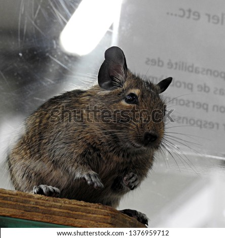 Gerbil with dark brown fur and black eyes standing on the edge of a wooden shelf on two back legs looking at camera in slight profile. Closeup portrait of rodent