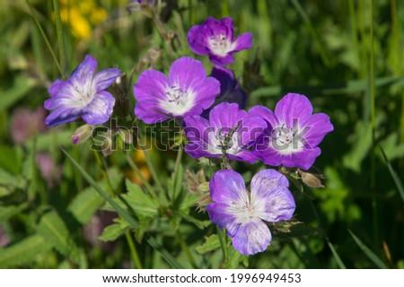 gerenium argente in solaison in mont saxonex in haute savoie in france Photo stock ©