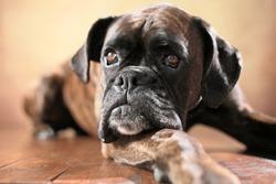 German boxer dog