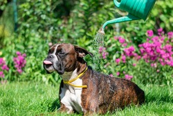 German boxer dog, brindle brown color, on the green grass. Nature and dog. Summer, hot weather.