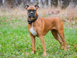 German boxer dog in the park