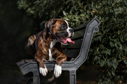 german boxer dog lying down on a bench outdoors in summer